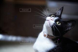 見上げるネコの写真・画像素材[4455879]