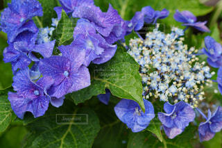 紫陽花の写真・画像素材[4570288]