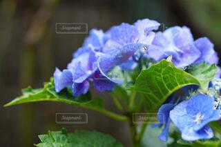 紫陽花のクローズアップの写真・画像素材[4570296]