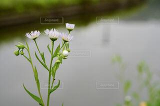 水辺に咲く花の写真・画像素材[4615680]