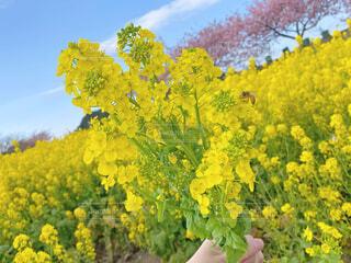 花,春,桜,花畑,花束,黄色,菜の花,イエロー,菜の花畑,草木,フローラ