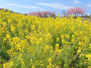 空,花,春,花畑,ピンク,黄色,景色,樹木,暖かい,イエロー,菜の花畑,草木,スプリング,菜種,フォトジェニック,なばな,インスタ映え,写真映え,フローラ
