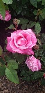 屋外,バラ,草,薔薇,草木,フロリバンダ,ハイブリッドティーローズ