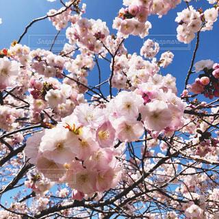 風景,空,花,春,カラー,草木,桜の花,さくら,ブロッサム