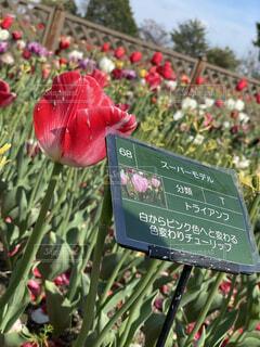 花,屋外,赤,チューリップ,草木,テキスト,スーパーモデル