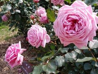 自然,ピンク,薔薇,美しい,バラ園,結愛