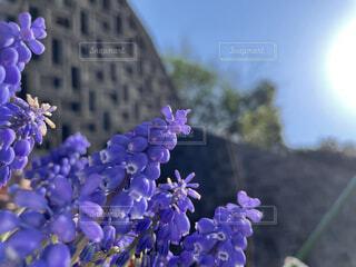 空,花,春,植物,青,紫,ムスカリ,草木,春の訪れ