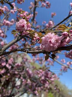 空,花,春,屋外,ピンク,樹木,草木,桜の花,さくら,ブルーム,ブロッサム