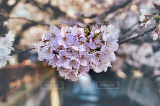 美しき桜の写真・画像素材[4393187]