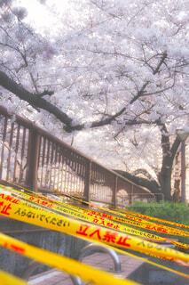コロナの桜の写真・画像素材[4393190]