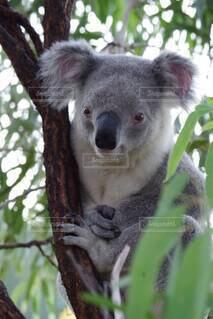 オーストラリアの森の中の野生のコアラの写真・画像素材[4393239]