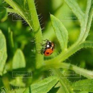 草をのぼるてんとう虫の写真・画像素材[4393262]