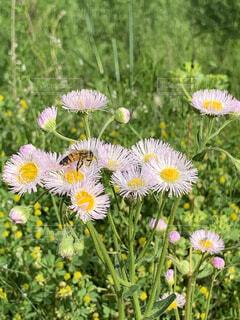 ハルジオンと蜂の写真・画像素材[4407574]