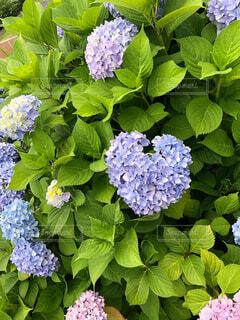ハートの紫陽花の写真・画像素材[4393633]