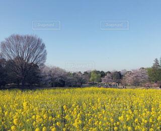 黄色い絨毯の写真・画像素材[4393632]
