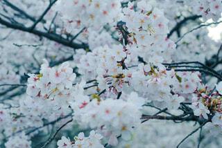 春の風を待つあの花のようにの写真・画像素材[4394366]