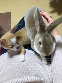 犬,チワワ,ポメラニアン,白,茶色,オレンジ,仲良し,レッド,ウサギ,ミニレッキス