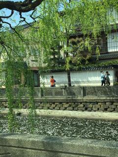 温泉,桜,桜並木,旅行,兵庫