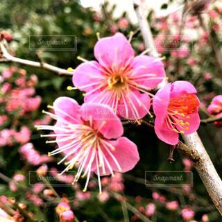 庭の梅の花の写真・画像素材[4401846]