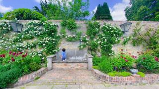 晴天の中の薔薇と男の子の写真・画像素材[4575931]
