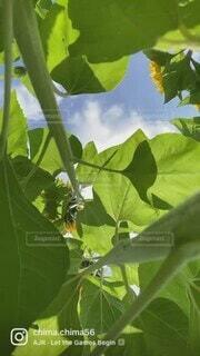 風景,空,夏,屋外,緑,ひまわり,青空,黄色,樹木,草木,sunflower,動画
