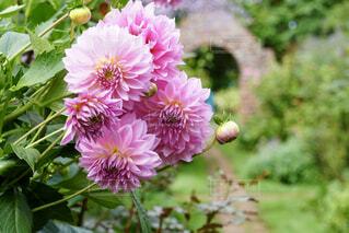 ピンク お花の写真・画像素材[4397413]