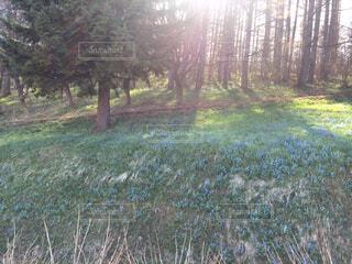 森の中の蒼い花の写真・画像素材[4399618]