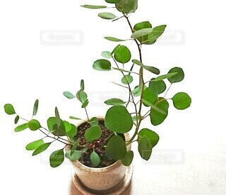 ユーカリの観葉植物を眺める私の写真・画像素材[4401489]
