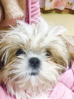 飼い主を見つめるシーズー犬の写真・画像素材[1000666]