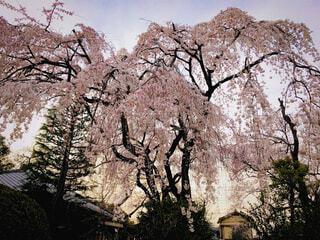 夕暮れの枝垂れ桜の写真・画像素材[4406090]