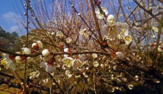 ポツポツと咲いた梅の花の写真・画像素材[4407029]