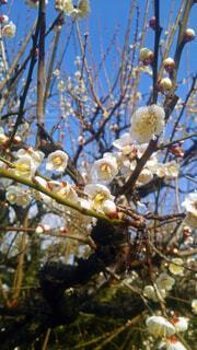 青空の下の梅の木の写真・画像素材[4407030]