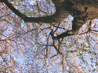 下から眺めた桜の木の写真・画像素材[4417031]