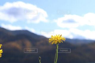 タンポポクローズアップの写真・画像素材[4402302]