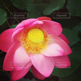 蓮の花の写真・画像素材[4402688]