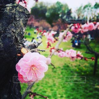 芝生と梅の花の写真・画像素材[4403219]