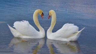 ハートを作る白鳥の写真・画像素材[4404389]