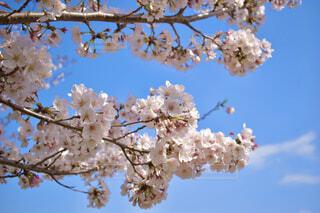 桜の写真・画像素材[4404510]