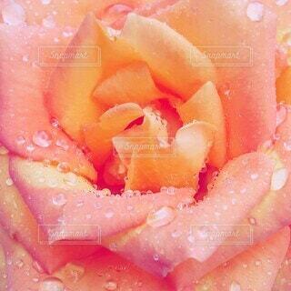 バラの花のクローズアップの写真・画像素材[4409475]