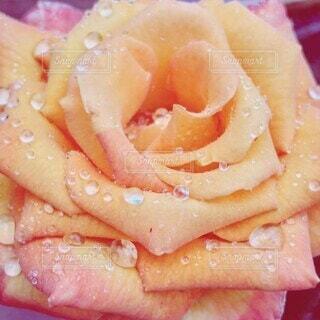 雨に濡れたバラの花のクローズアップの写真・画像素材[4409662]