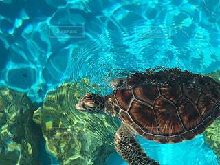 水のなかを泳ぐ亀🐢の写真・画像素材[4408228]