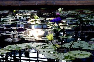 睡蓮が咲く暗い池に光が差し込むの写真・画像素材[4414990]
