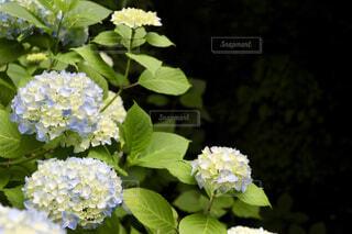 水色の紫陽花の写真・画像素材[4414991]