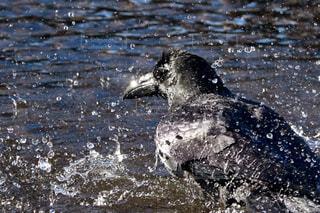 川で水浴びをするハシブトガラスの写真・画像素材[4424705]