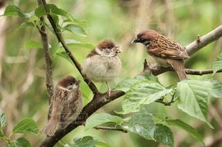 雛に餌を与える雀の写真・画像素材[4428904]