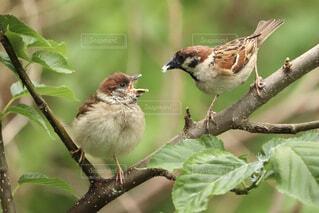 雛に餌を与える雀のお母さんの写真・画像素材[4428905]