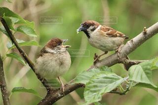 雛に餌を与える雀の写真・画像素材[4428906]