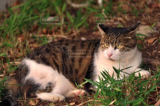 草の上に横たわっている猫の写真・画像素材[4413463]