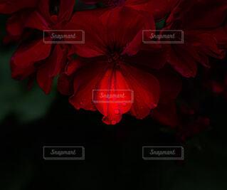 雫は宝石 花びらはドレスの様に。の写真・画像素材[4539241]