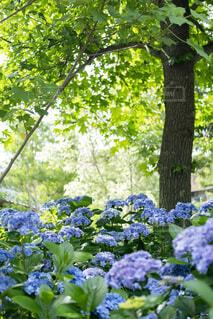 紫陽花の写真・画像素材[4565312]